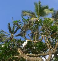 Volavka rusohlavá a strom chrastoun s krásnými bílými květy.