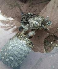 Želvy žijící ve fontáně před recepcí :-)
