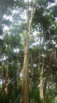 Eukaliptus.